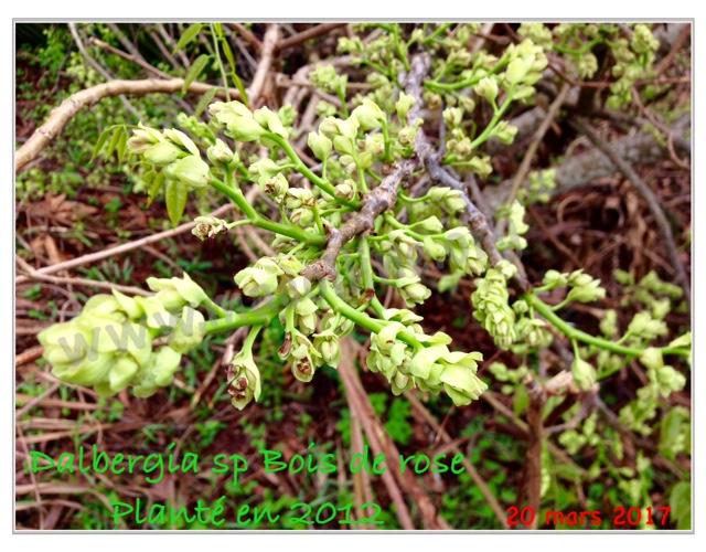 dalbergia flowers